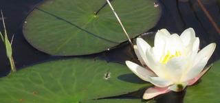 Photo de nénuphar blanc en fleur