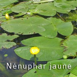 Le Nénuphar jaune