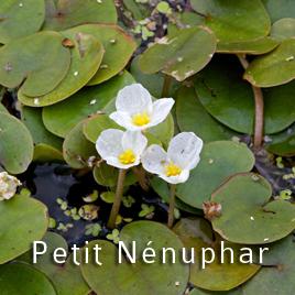 Le Nénuphar blanc